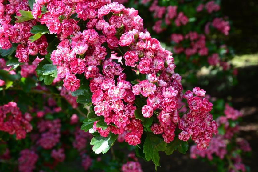 cherry-blossom-210692_1280